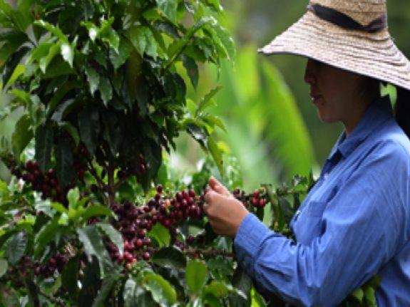 Federación de Cafeteros-Comité del Tolima plantean estrategias para la recolección de la cosecha de café en medio de medidas de aislamiento